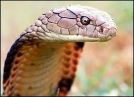 Penawar bisa ular kobra