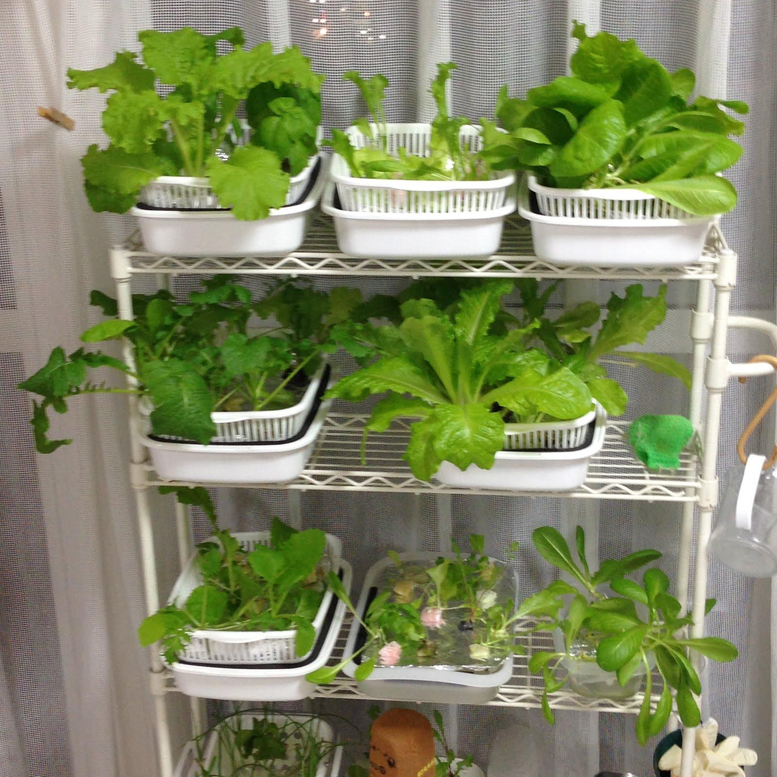 水栽培 野菜