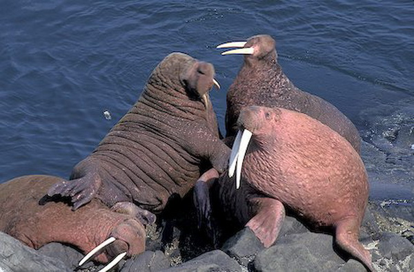 How big is a walrus dick