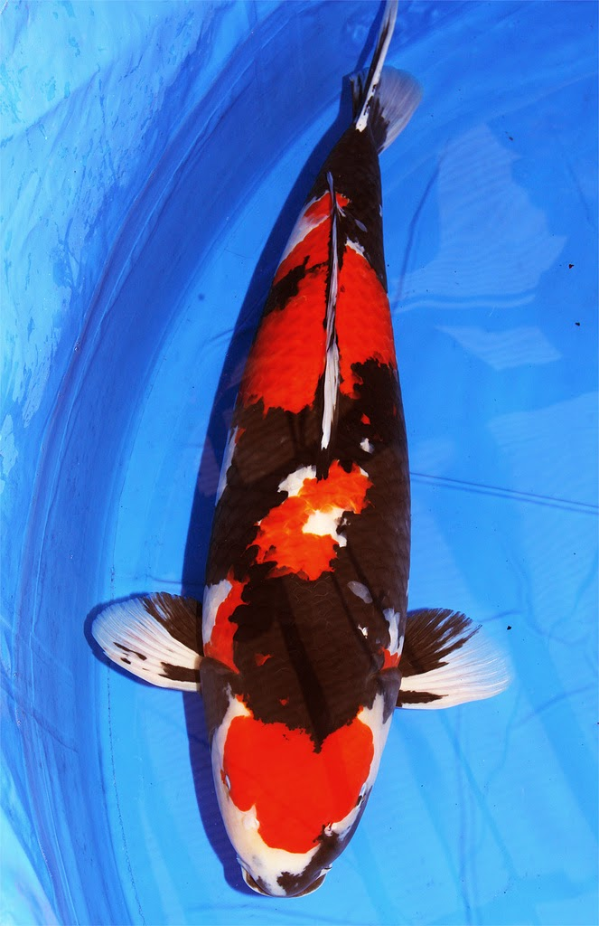 Blok888 top 10 most beautiful freshwater fish in the world 1 for The best koi fish