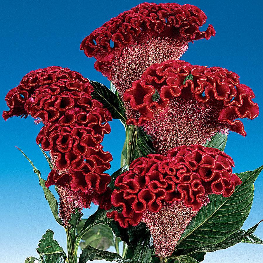 cock flowers