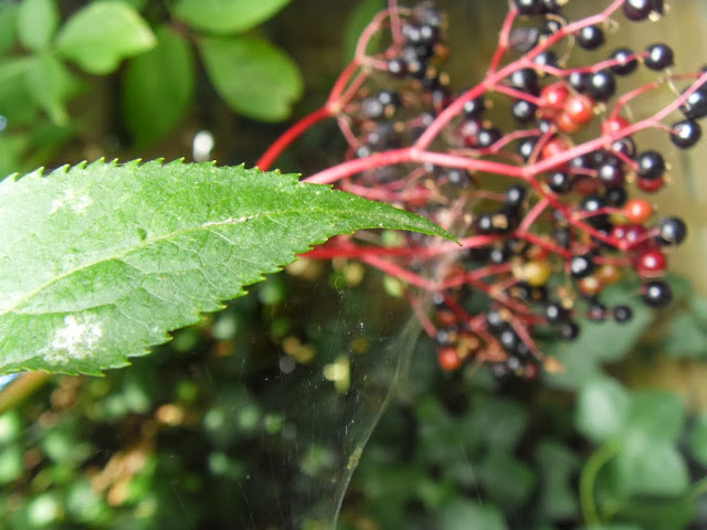 Spider web berries