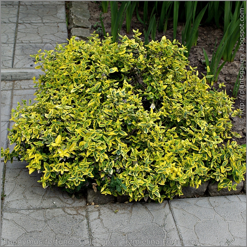 Euonymus fortunei 'Gold Tip' habit - Trzmielina Fortune'a 'Gold Tip' pokrój