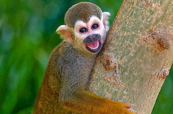 maymun şempaze