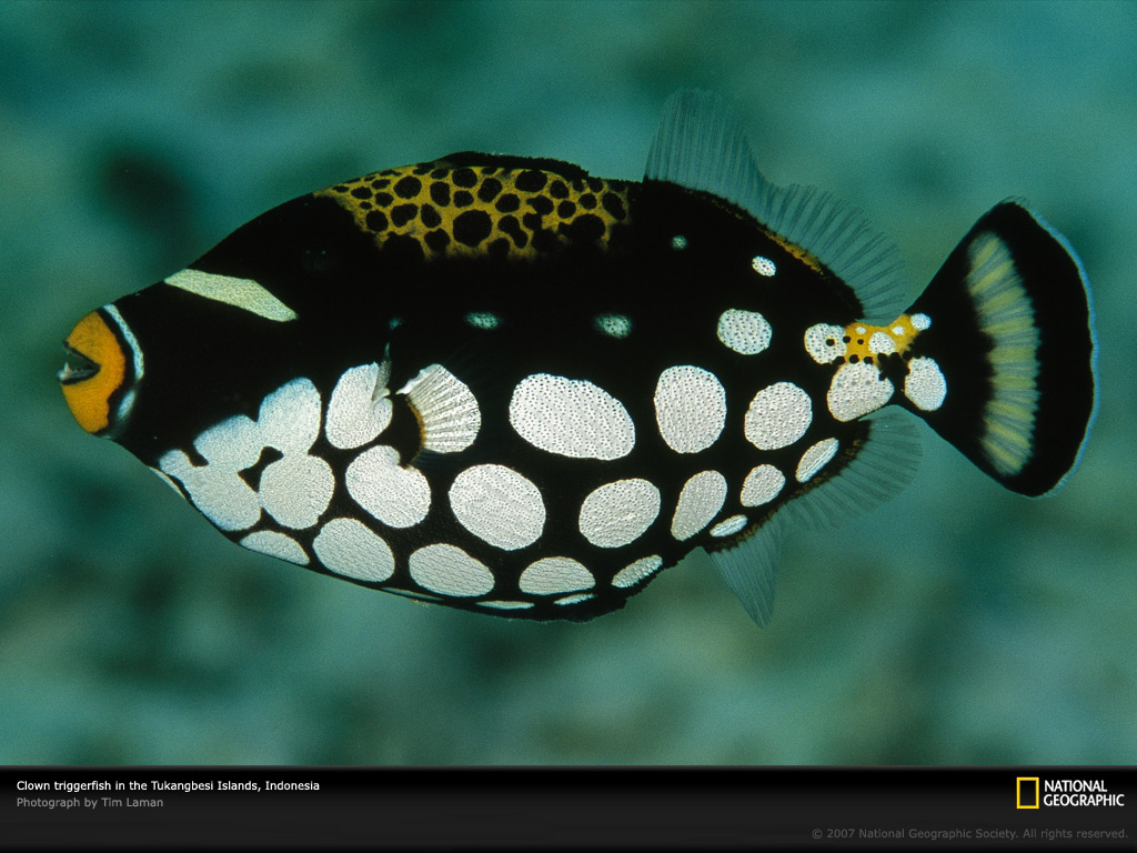 Android phones wallpapers android wallpaper clown triggerfish for Pictures of clown fish