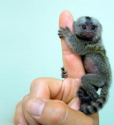Smallest Monkey