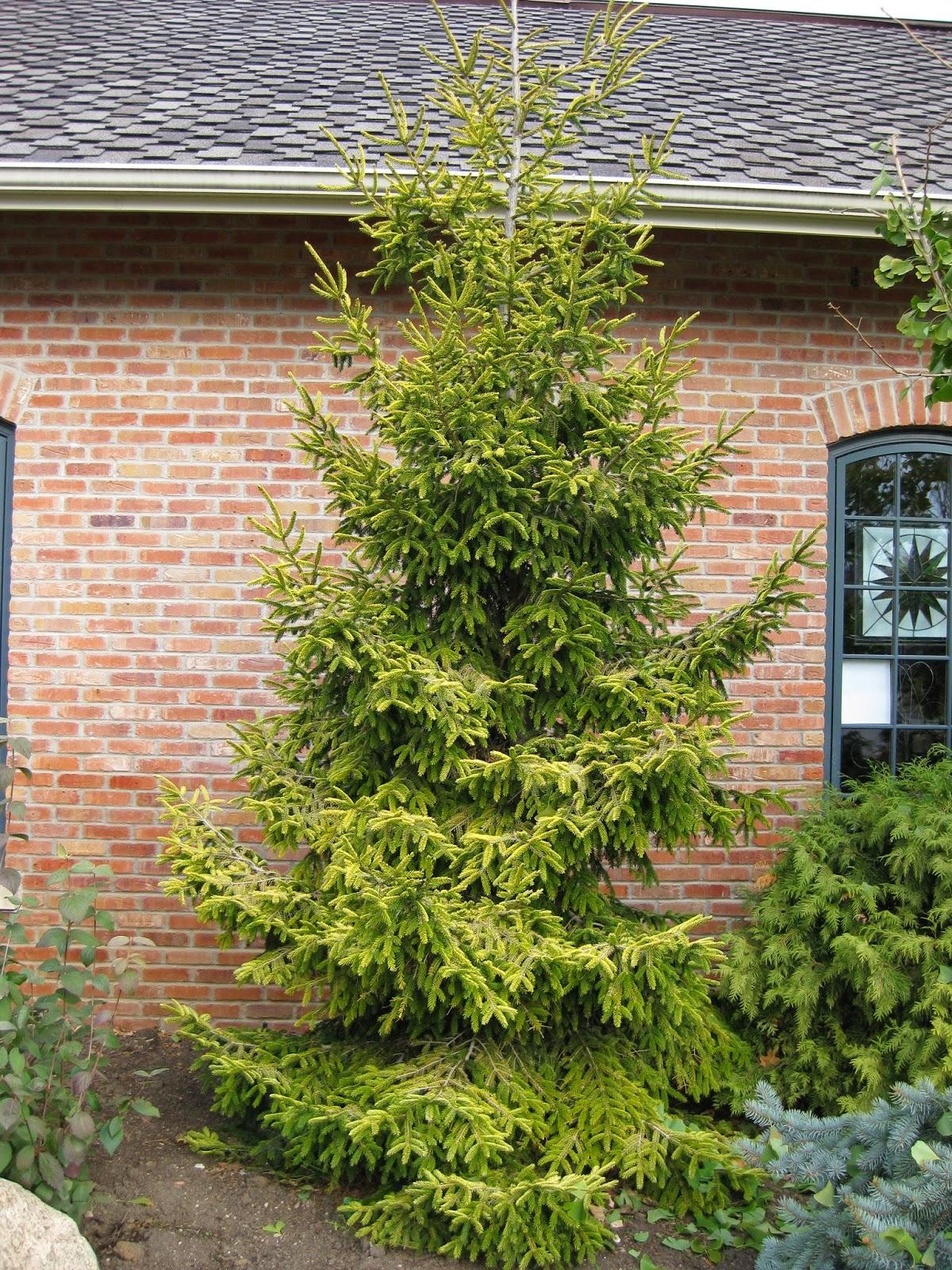 Golden conifers in winter rotary botanical gardens golden oriental spruce picea orientalis skylands reviewsmspy
