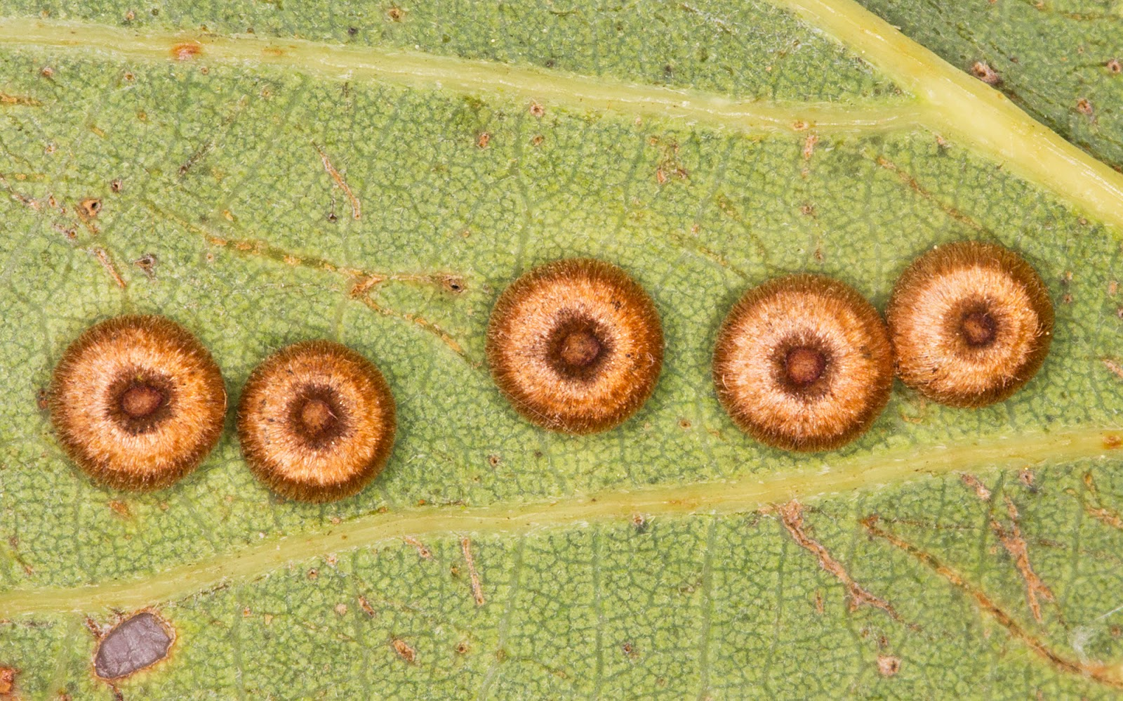 Silk Button Spangle Galls, gall wasp Neuroterus numismalis.  West Wickham Common, 15 September 2014.