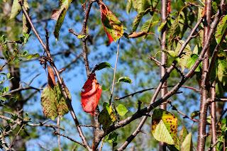 Cerezo silvestre (Prunus avium) Wild cherry