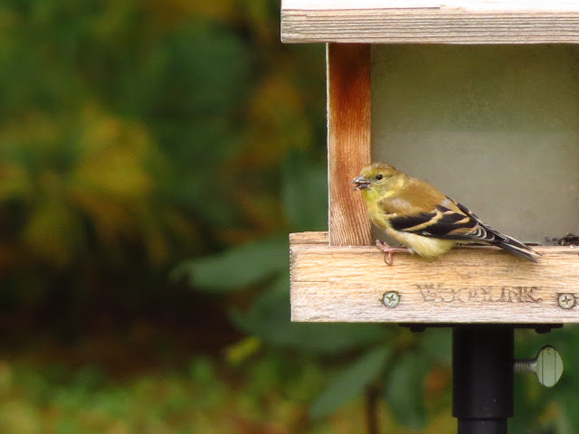 american goldfinch with seed