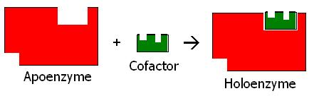 kofaktor enzim