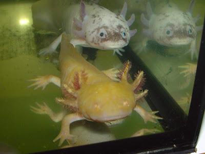 Cuento de Julio Cortázar: Axolotl