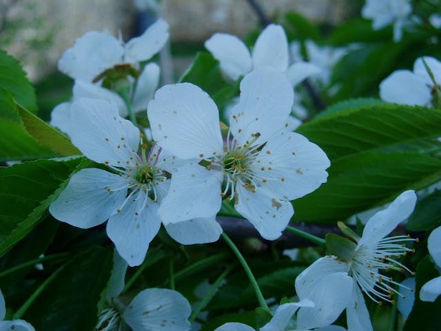 flor-de-cerezo-prunus-avium