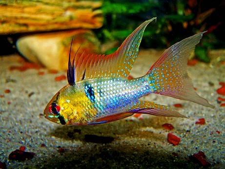 Peces y plantas ornamentales microgeophagus ramirezi for Reproduccion de peces ornamentales