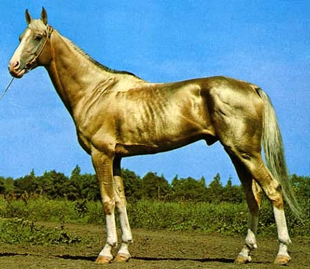 Is This The Most Beautiful Horse in the World  Meet The Akhla-Teke    Smallest Horse In The World 2014