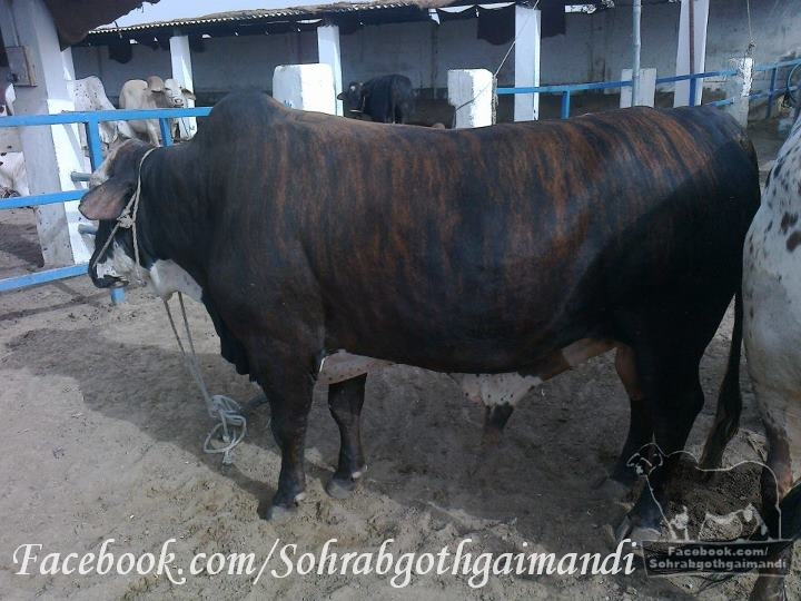 Shah Cattle Farm Cow http://newsduplicate.com/dilpasand-cattle-farm-2012.html