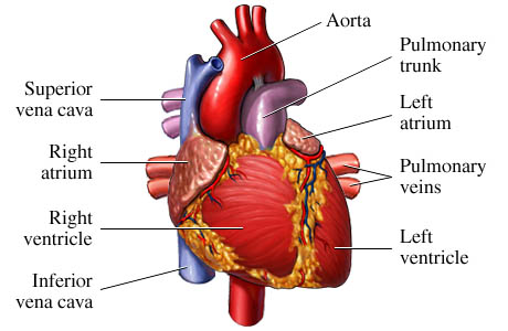 medical transcription: heart muscle, Muscles