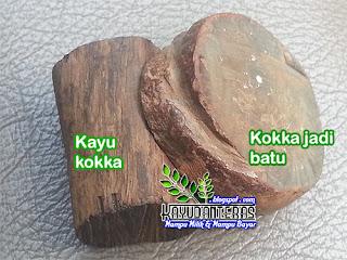 fosil kokka