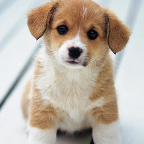 Kumpulan Gambar Anjing Lucu Banget