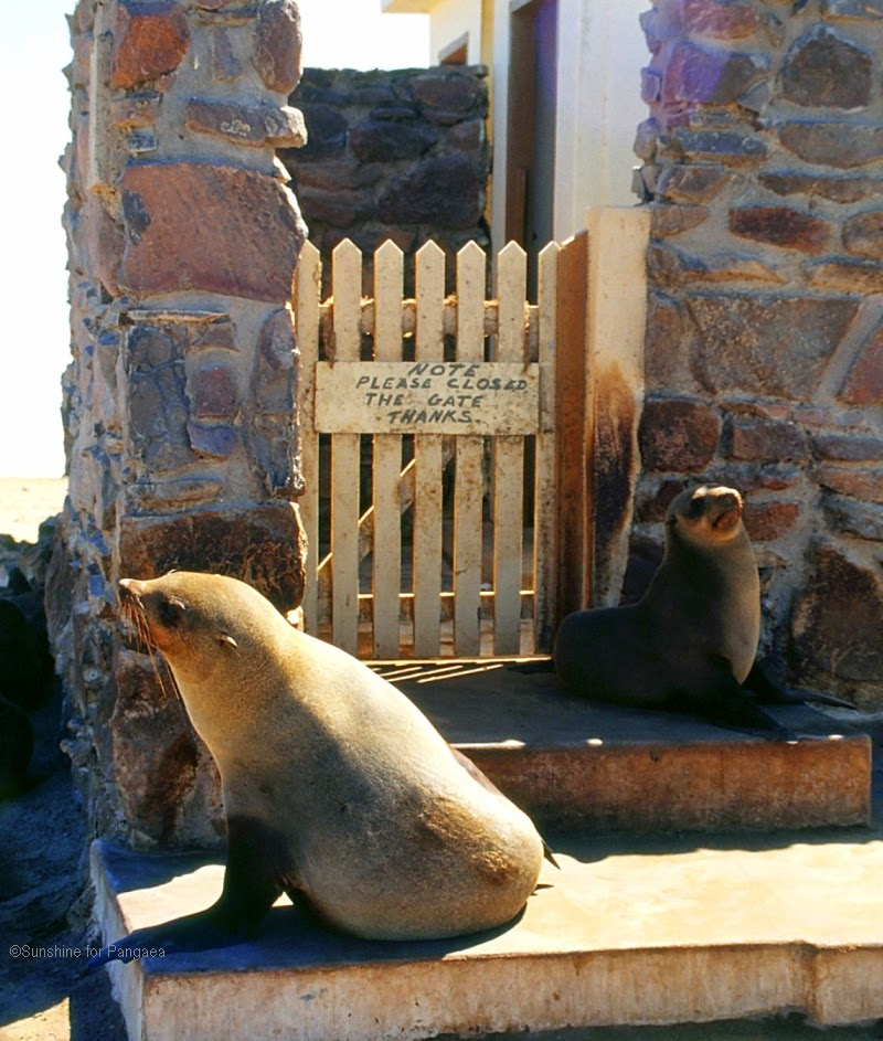 brown fur seal colony in Namibia