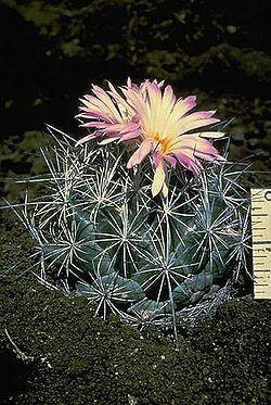 Cactaceas y otras suculentas for Cactaceas y suculentas