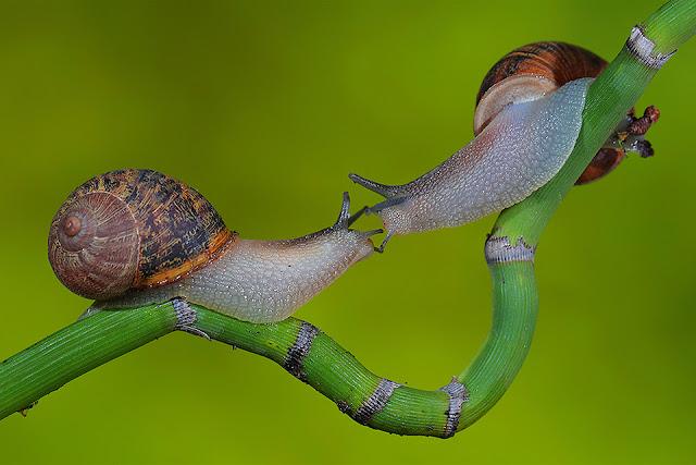 Snegle fletter følehorn på en gren