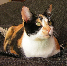 Calico cat wallpaper