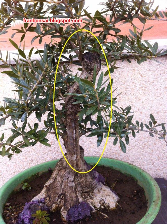fran bonsai: los olivos son para el verano.
