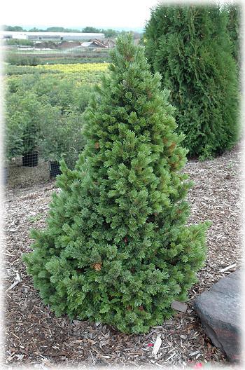Arte y jardiner a pinos rboles longevos for Pinos para jardin