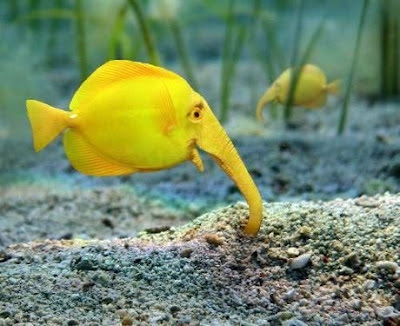 pez elefante