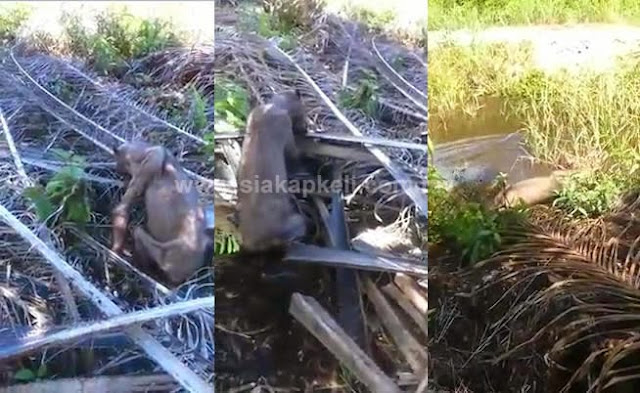 3 Gambar Haiwan Aneh Seperti Gollum Ditemukan Di Sibu Sarawak