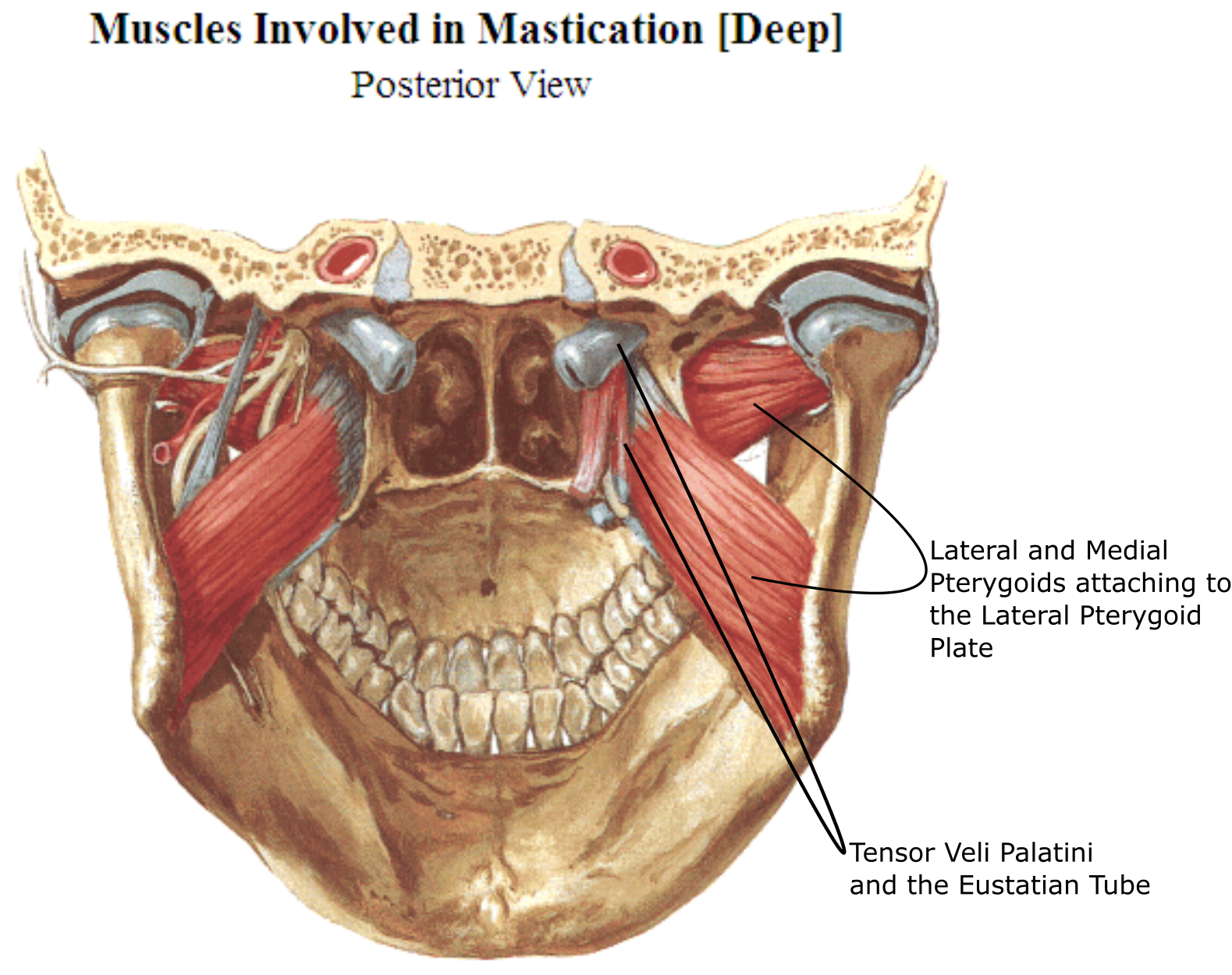 Anatomy of the Sinew Channels: November 2015