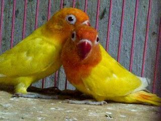 Gambar Cara Merawat Burung Lovebird Pastel