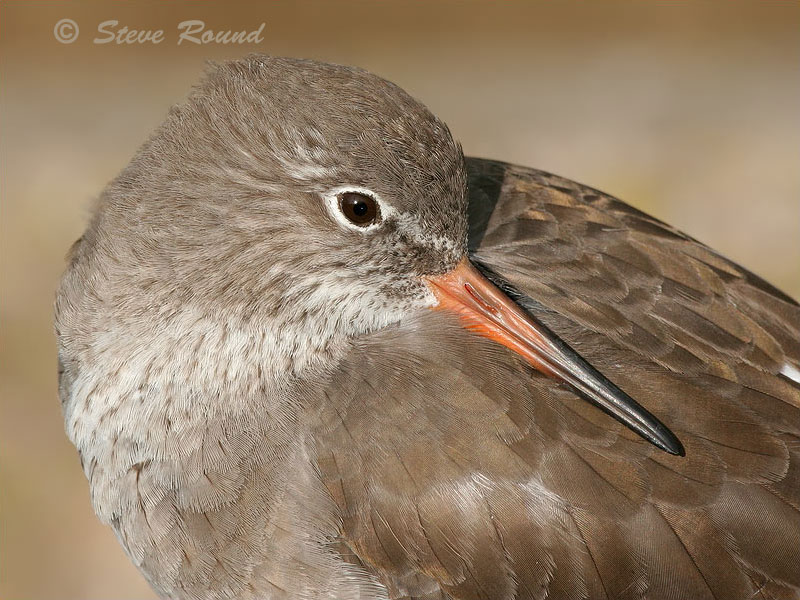 bird, nature, wildlife, redshank, common
