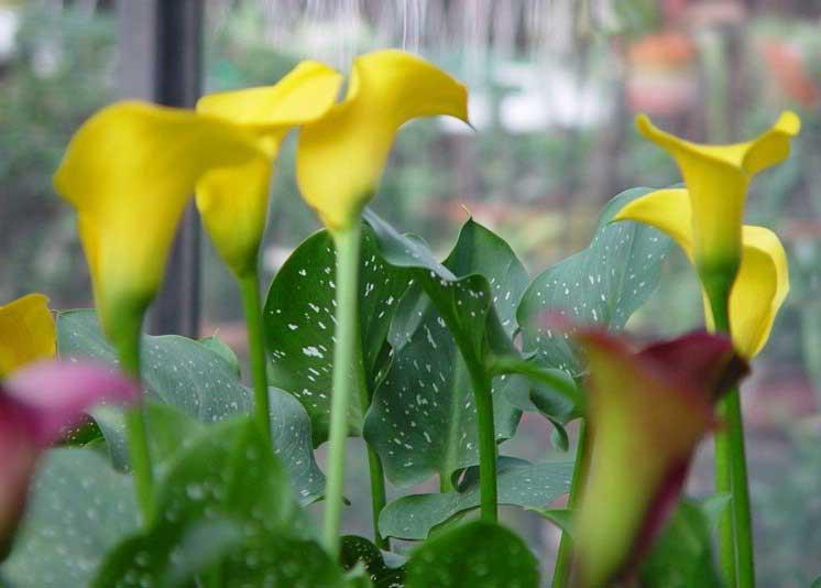 The flower garden september 2013 for Calla lily flower meaning