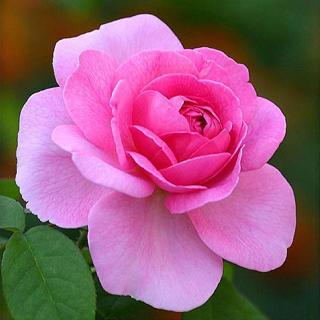 Rosa rosada - Solo Nuevas
