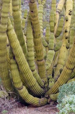 Organ Pipe Cactus 7545