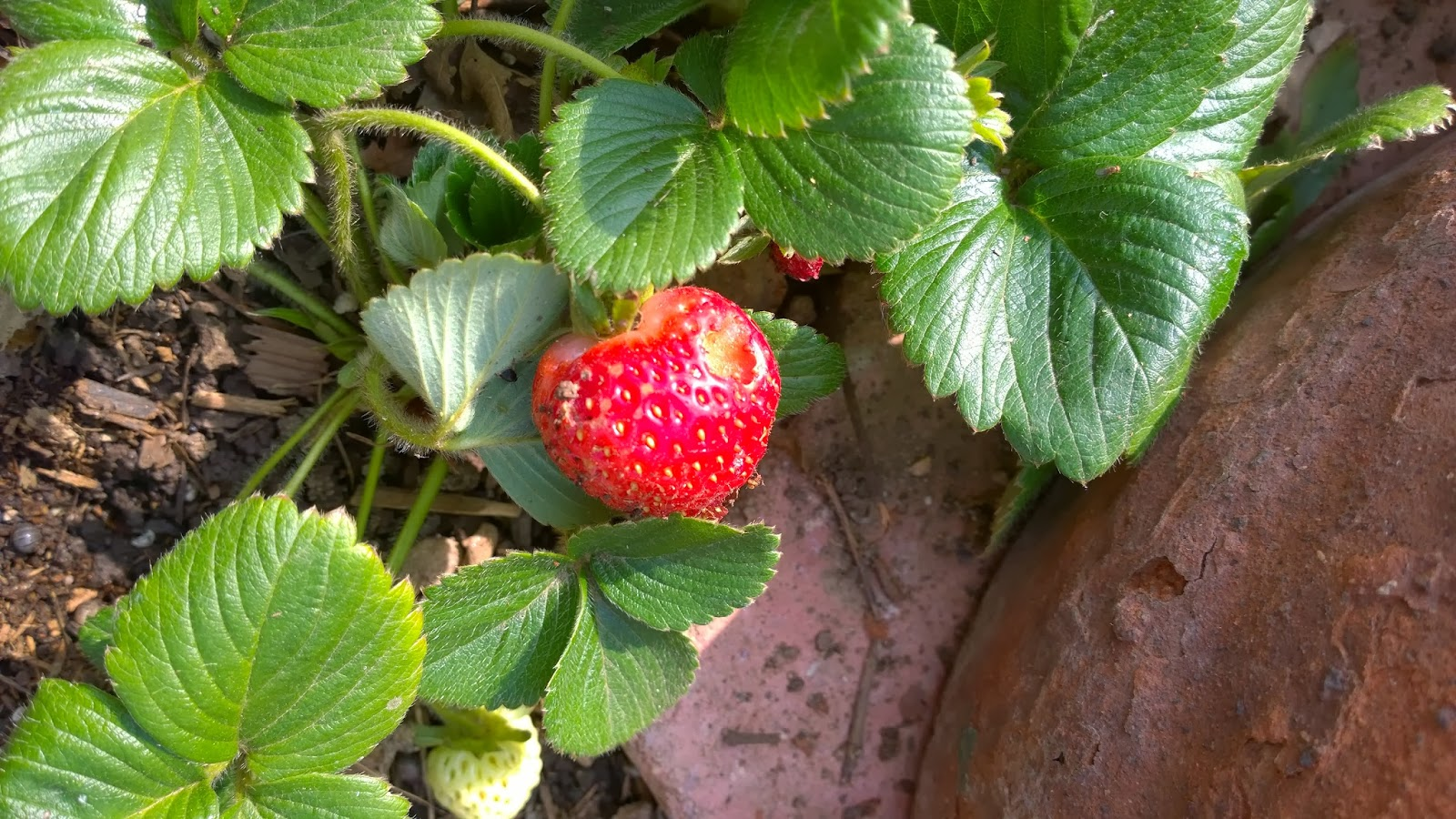 Sunny simple life growing strawberries ideas for the spring garden - Plant strawberries spring ...