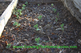 sugar snap pea seedlings