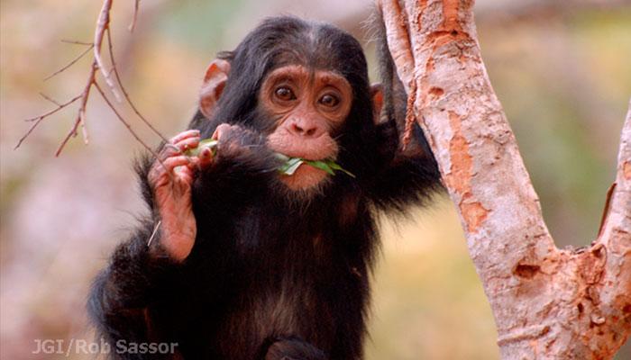 Movilizate por la selva Instituto Jane Goodall chimpances