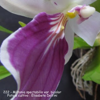 Miltonia spectabilis var. bicolor  do blogdabeteorquideas