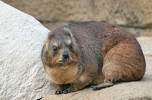 the hyrax looks a little less happy