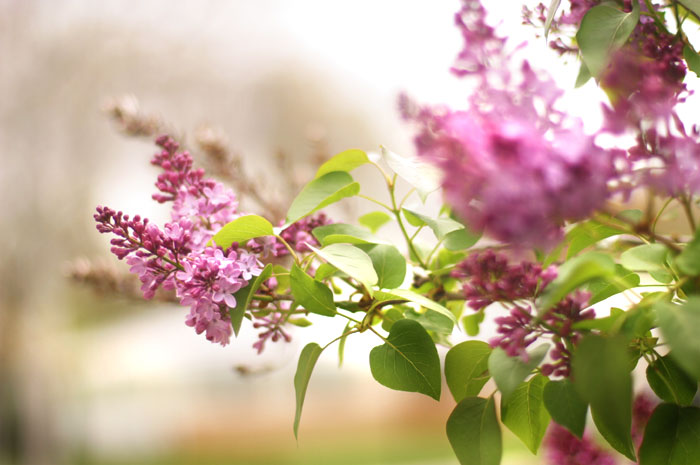 lilac aroma scent