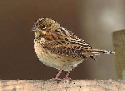 Chestnut-eared Bunting - Jim Woods