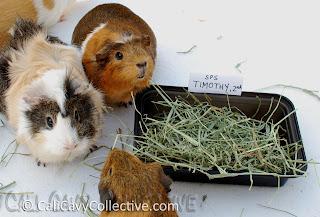 guinea pig timothy hay review comparison