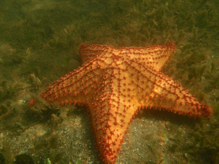 Estrellas de Mar: Generalidades de Oreaster reticulatus