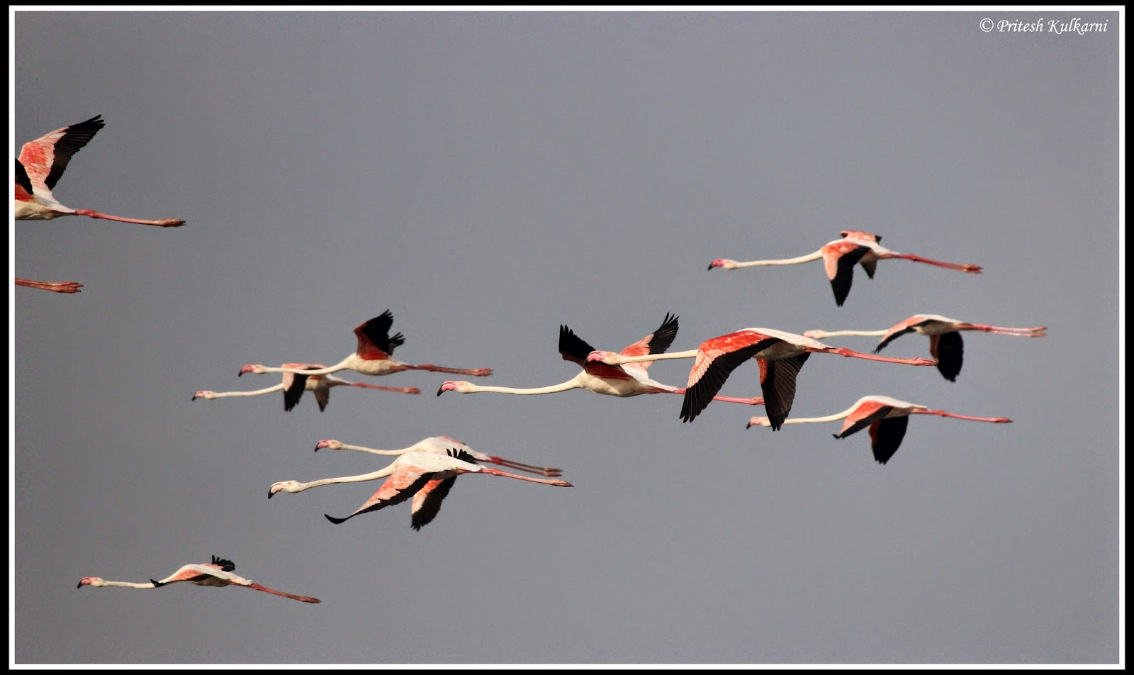 Greater flamingo Flight