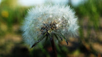 Mother nature is attacking this dandelion with harsh gusts of wind, trying to get her to move her seeds