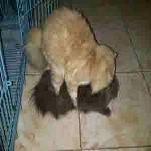 http://meeowhouse.blogspot.com/2014/10/jasa-pacak-kucing-persia.html