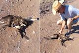 homem corajoso salva gavião que estava sendo esmagado por serpente